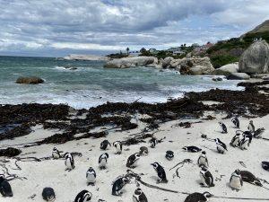 Reisebericht aus Kapstadt   Magazin - Mr. Düsseldorf   Pinguine Boulder's Beach