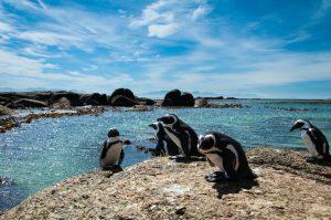 Reisebericht aus Kapstadt | Magazin - Mr. Düsseldorf | Pinguine Boulder's Beach